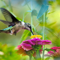 Sweet Success Hummingbird, Hummingbird Art, Fine Art Print, Photo Print, Bird Art