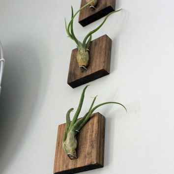 Set of Three Mounted Air Plants // Medusa's Head // Living Art // Uniqe Wall Decor