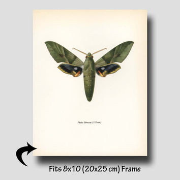 "Butterfly Art Print ""Gaudy Sphinx"" Olive Green Vintage Butterfly Print (Egyptian Wall Decor, 1960s Book Plate) No. 64-2"