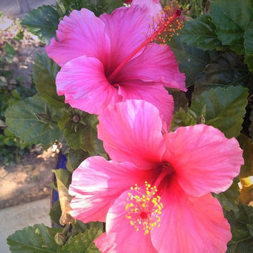 Nature Flower photography Two pink hibiscus flowers