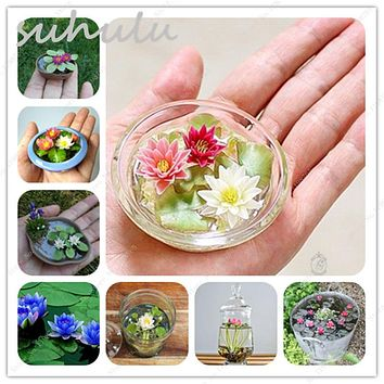 5 Pcs Mini Lotus Seeds New Hyacinth Pond Seeds Water Lily Seeds Best Germinate Lotus Flower Indoor Fissidens Flowers Pots Bonsai