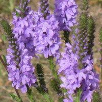 The Dirty Gardener Verbena Stricta Hoary Vervain Flowers, 500 Seeds