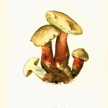 Bitter Beech Boletus Antique Print Mushrooms French Atlas Wall art Home decor