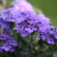 Heirloom 150 Seeds Veined Verbana hybrida Voss Verbena Vervain Moujean tea Blue Seeds B0140