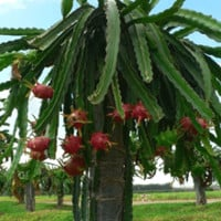 Dragon Fruit Cactus on Fast Growing Trees Nursery