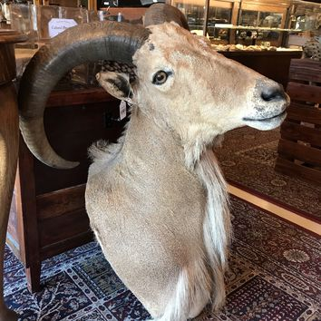Auodad Barbary Sheep Taxidermy Mount