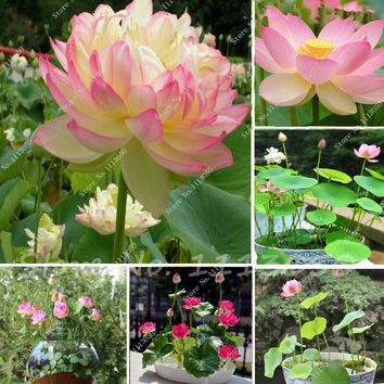 Bonsai flower Victoria Amazonica Giant Water Lily Lotus seeds! home garden decoration plant 10pcs free shipping