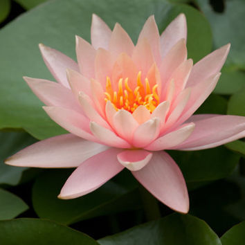 Flat Photo Cards Single Pink Water Lily by NatureImagesByDesign