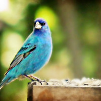 Blue Bird Photography  Indigo Bunting,nature,Gifts under 25, adorable,turquoise,home decor,sky blue