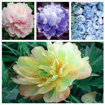 hot Selling Rare Chinese Peony seed planting vegetation and courtyard with garden flowers Paeonia Suffruticosa seeds 10 PCS