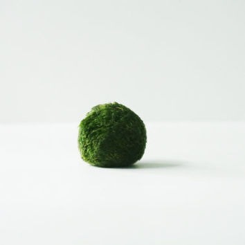 Giant Japanese Marimo Moss Ball - Premium Quality Marimo Ball , Japanese Moss Ball, Living Home Decor, Gift , Plant,