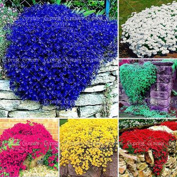 100pcs/bag Creeping Thyme Seeds or Blue Rock Cress Seeds Perennial Ground cover flower, Natural growth for home garden