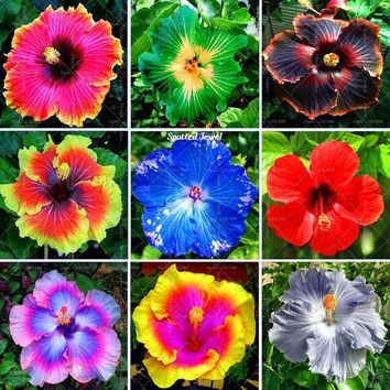 200pcs/bag giant hibiscus seeds Hibiscus Bonsai Flower for home garden planting seeds12 kinds mixed colors seeds