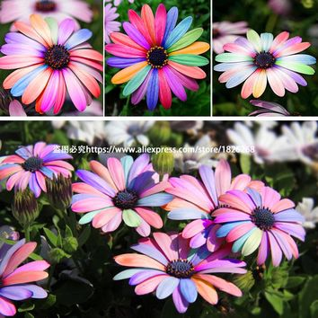 "30 Count/Pack Colorful African Daisy ""Osteospermum"" Seeds"