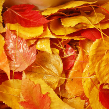 100 Natural  Treated Fall Leaves Maple Aspen Cottonwood Autumn