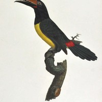 Jacques BarrabandL'Aracari verd male. No 16.1806