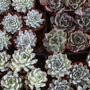 9 Beautiful Echeveria Rosette Style Succulents in their 4 inch plastic containers wedding shower favors party gifts plants succulent