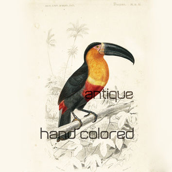 1861 Toucan, Original Print by Ch. d'Orbigny, Master piece OOAK , Matted Print, Tropical Bird Natural History