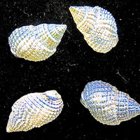 """Button Set of Four in Shape of Shell Iridescent Dainty .5"""""""