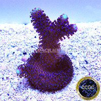 Saltwater Aquarium Corals for Marine Reef Aquariums: Purple Stylophora Coral - Aquacultured