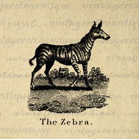Digital Printable Zebra Antique Illustration Graphic Image Download Vintage Clip Art for Transfers Printing etc HQ 300dpi No.829