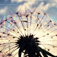 Summer Dandelion Rainbow Blue sky fluffy by HConwayPhotography
