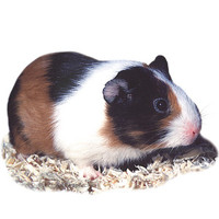Pet Guinea Pigs for Sale » Guinea Pig | PetSmart