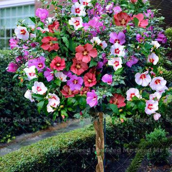 100PCS Giant Hibiscus Flower Seeds  ,Mix Color, Hibiscus Tree Seeds DIY Home Garden Perennial Potted Or Yard Flower Plant