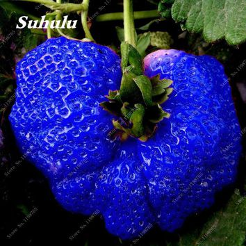 500 PCS/bag Big Giant Strawberry Seeds,Blue Strawberry Seeds Rare Sweet Four-season vegetable and fruit Seeds, Garden plants