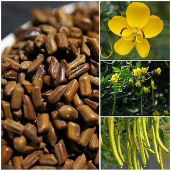100PCS Cassia seeds DIY potted plants indoor / outdoor pot seed germination rate of 95% mixed colors