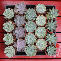 "4 ECHEVERIA Rosette Style Succulents in their 4"" plastic containers wedding shower FAVORS party gifts plants succulent"