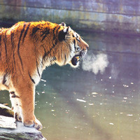 Tiger Photography - 12x18 Nature, Wildlife photograph - Animal Fine Art Photo Print, Wall Picture,Home Decor
