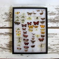 Vintage Framed pressed Butterflies. Riker Specimen box with small butterflies and moths. Wall hanging picture