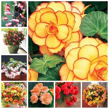 100 Pcs/bag Mixed Begonia Flower Potted Bonsai Indoor Decoratie Beautiful Garden Wall Plant Home Decor SeedsFor Christmas Tree