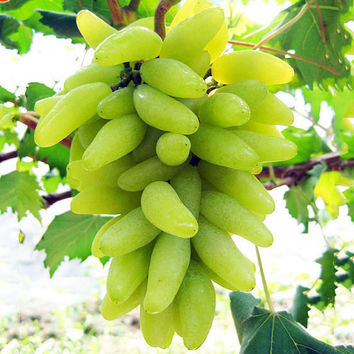 15 Golden Finger Grape Very Rare Exotic Seeds Green Advanced Fruit Seed Natural Growth Tasty Delicious Fruit Plants Garden non-GNO Organic