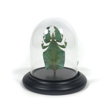 Glass dome with Leaf bug (Phyllium sp.) - Stolp met een wandelend blad (phyllium sp.) -