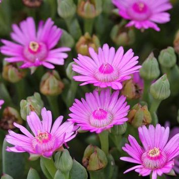 Pink Dassievygie Ice Plant (Oscularia caulescens) 30+Seeds