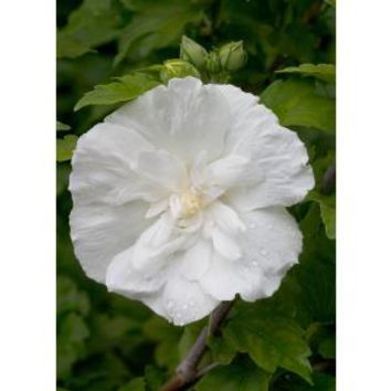 Proven Winners White Chiffon Rose of Sharon (Hibiscus) Live Shrub, White Flowers, 4.5 in. qt. HIBPRC2017800 at The Home Depot - Mobile