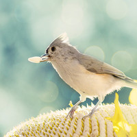 Tuffed Titmouse-Bird Photoraphy, Grey, Winter, Home Decor, Cabin woodland