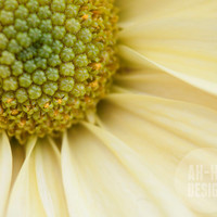 Daisy, Yellow Flower - 8 x 10 Photograph