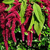 Organic Heirloom 2500 Seeds Amaranthus caudatus Love Lies Bleeding Tassle Garden Flower Fresh Bulk Seeds B0006