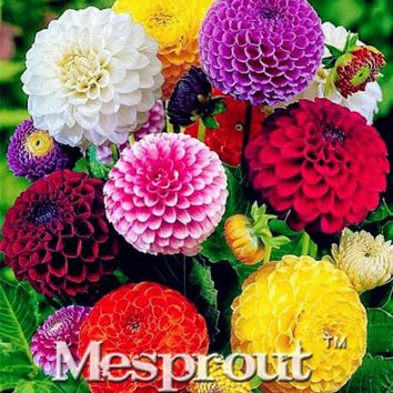 Free Shipping 100PCS Zinnia Seeds, green color(green youth and old age),rare variety,heat tolerant Garden flower,easy Growing