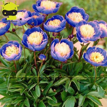 Heirloom 'Bowl of Beauty' Peony Flower Seed, 5 Seed/Pack, Rare Dormant Plants Blue Paeonia suffruticosa