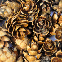 Small Pine Cones.  Wreath Supplies, Weddings, Flower Arrangements, Center Pieces.  75 Rose Pine Cones