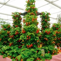 1000 Red Climbing Strawberry Seeds Organic Heirloom Sweet Fruit Home & Garden DIY Indoor Outdoor Cute Interesting Productivity Plant
