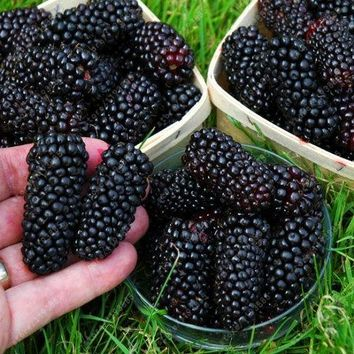 Blackberry tree Raspberry SEEDS 200 pcs/bag stratified fruit seeds home garden plant creepers fruit bonsai seeds sweet & organic