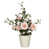 Buy Rose Bush in Pot, Pink, Large online at John Lewis