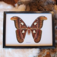 Ryker Mounted Atlas Moth