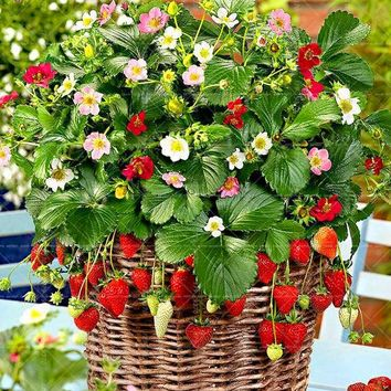 300pcs/bag bonsai strawberry seeds Fragaria organic delicious fruits seeds Perennial indoor pot plant for home garden planting