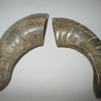 2 Ram horns...E2A60....Natural colored polished sheep horns...........